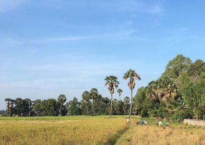 Angkor Reisfelder