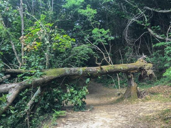 Camino del Norte - San Sebastian nach Zarautz - Umgestürzte Bäume auf dem Camino