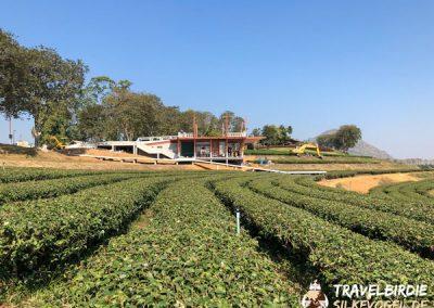 Chiang Rai Singha Teeplantagen