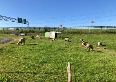 Schafe an der Autobahn