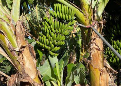 La Puntilla: Bananenstauden